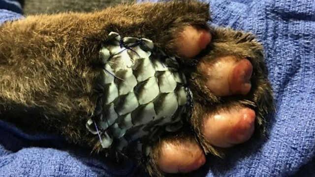 医生用鱼皮帮助美洲狮治疗烧伤