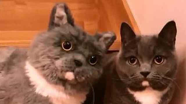 小奶猫碰到玩具喵,瞬间一脸蒙圈
