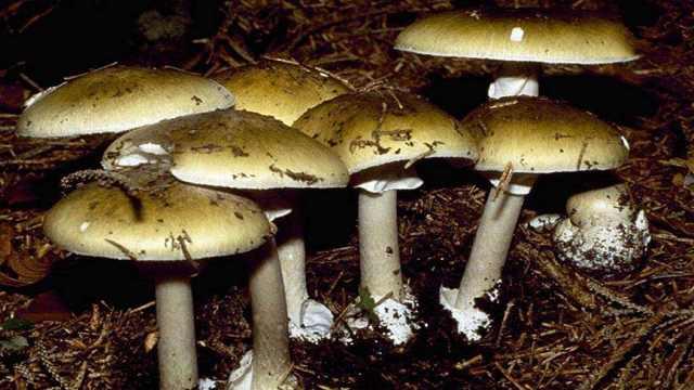 世界上最致命的蘑菇,长得很普通!