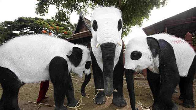 泰国将大象染成熊猫,大象也很绝望