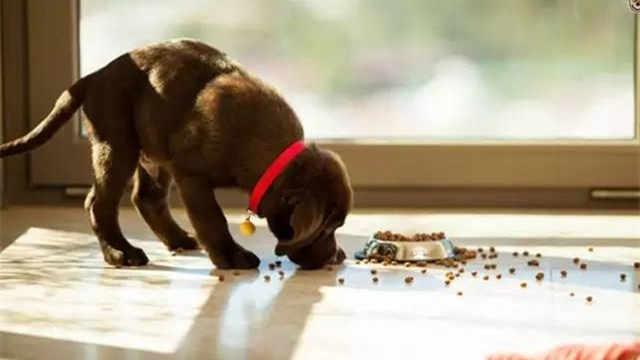 为什么狗狗会在自己食物盘里撒尿?