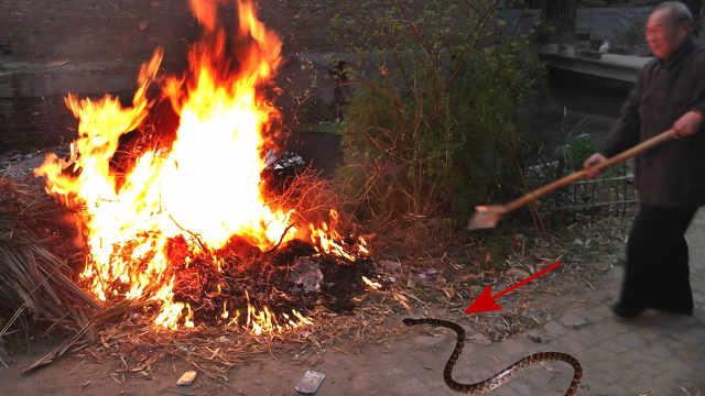 为什么五步蛇看见火会主动扑上去?