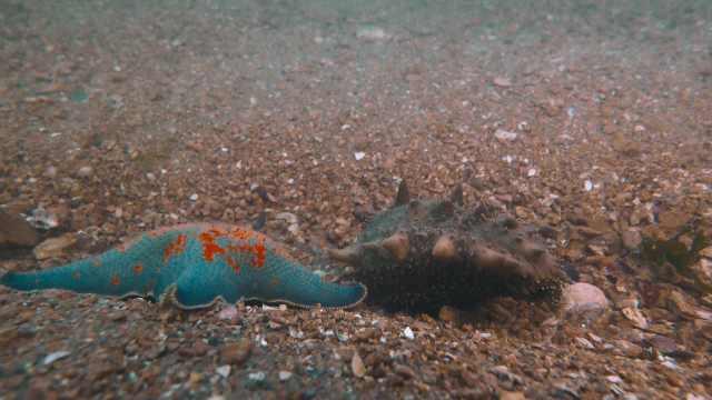 海洋里的大咖:会重生的海参