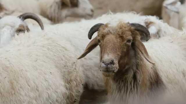 旱地上的斗争:边攀岩边吃饭的羊