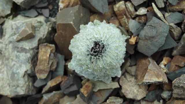高原上的温存:海拔6000米的孤独花