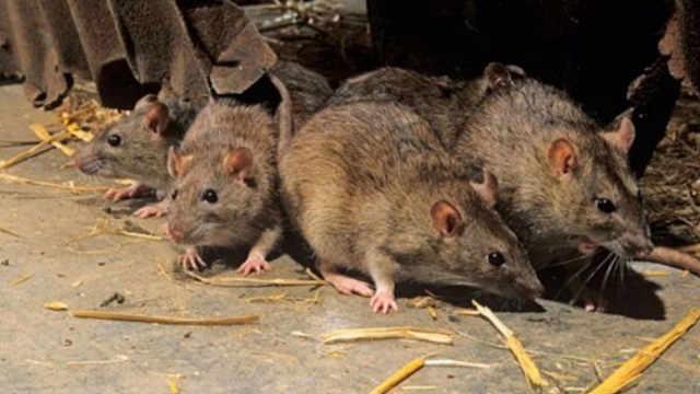 如果老鼠灭绝地球会发生什么变化?