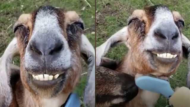 山羊被刷毛超酥胡,露出迷醉笑容