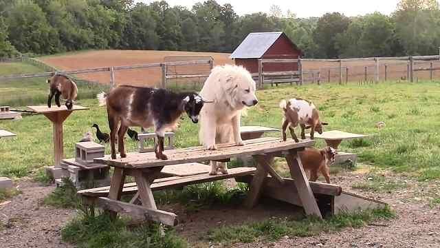"""有趣!狗狗和小山羊玩""""开小火车"""""""
