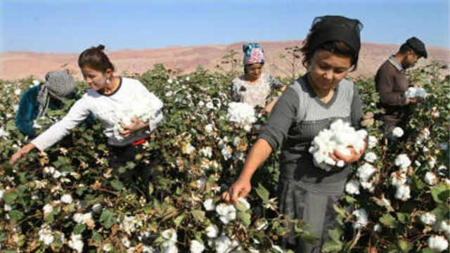 为什么很多人抢着到新疆摘棉花