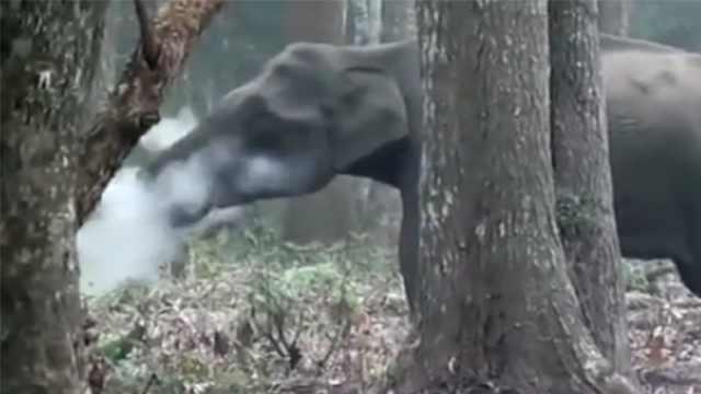"""印度的大象会""""抽烟""""?"""
