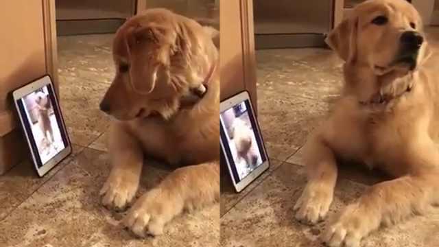 狗狗看着视频里的自己,被蠢到了