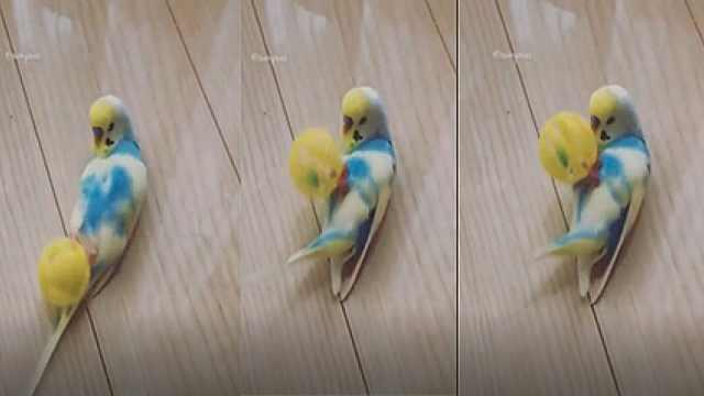 太萌了!鹦鹉展现高超球技