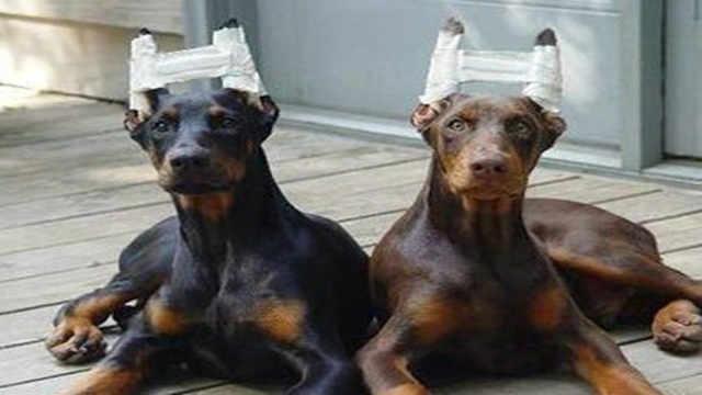 为什么养狗的人要剪掉狗耳朵?