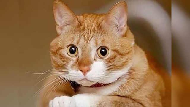 橘猫是土猫怎么还有那么多人喜欢?