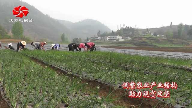 大方县达溪冷底村大力发展香葱种植
