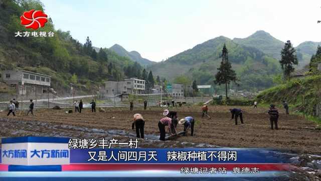 大方县绿塘丰产一村辣椒种植不得闲