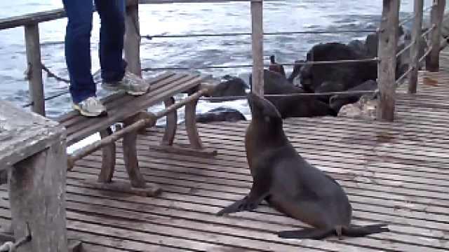 海狮驱赶游客:你打扰到我睡觉觉了