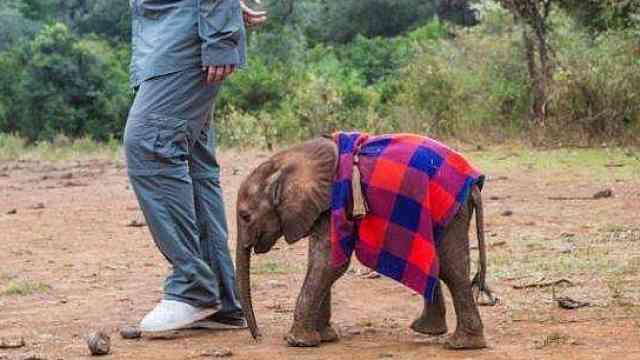 因非法狩猎而成为孤儿的小野象