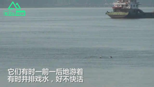 长江三桥江面现江豚戏水