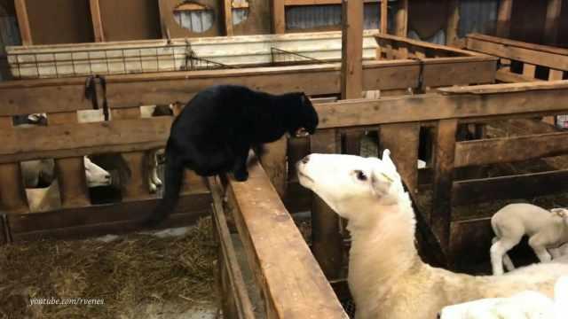 暴躁猫咪激怒山羊,被一头顶翻