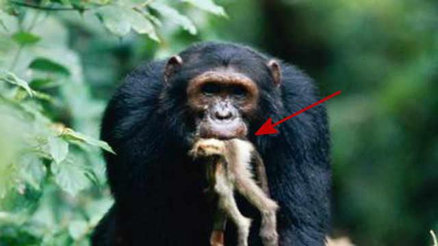 黑猩猩猎捕红疣猴会先吃大脑?