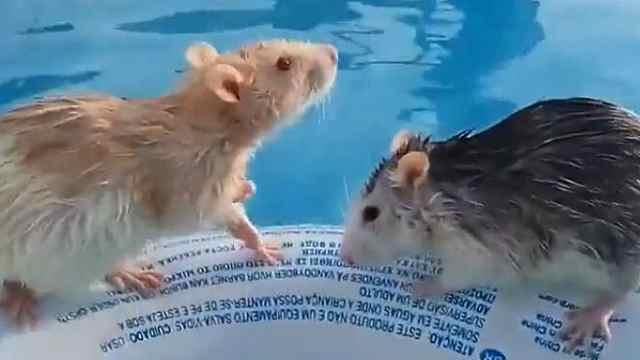 激萌!小老鼠掉进泳池游得超欢