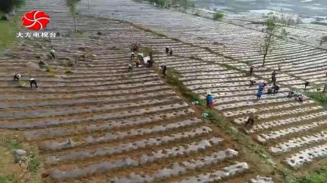 大方县黄泥塘镇五一千人种植辣椒忙