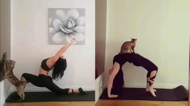 捣蛋猫!美女主人做瑜伽总去添乱