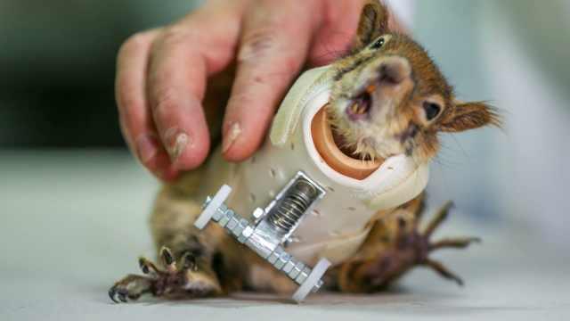 世界第一只安假肢的松鼠,健步如飞