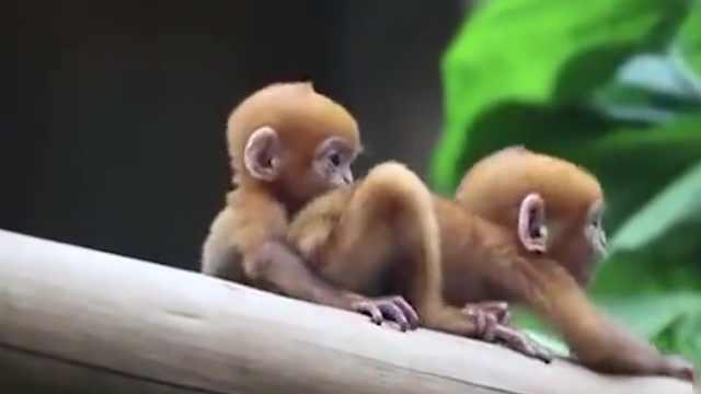 萌!首例珍稀黑叶猴龙凤胎诞生