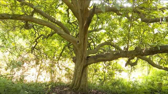 深山百年枇杷树,果实仍可采摘食用