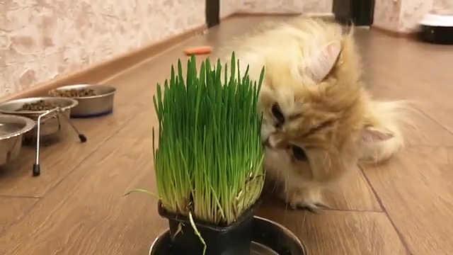 你个铲屎的居然想让我吃草?