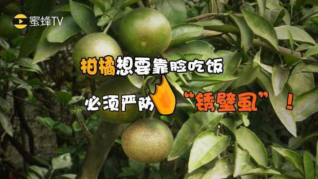 柑橘想要靠脸吃饭,必须严防锈壁虱