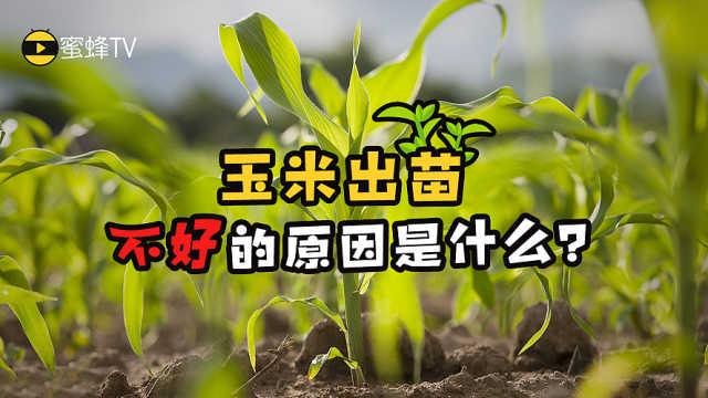 蜜蜂TV:玉米出苗不好的原因是什么