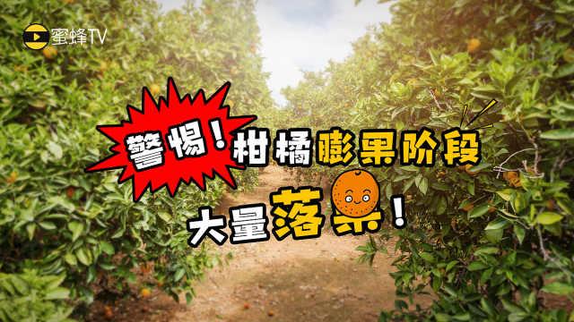 警惕!柑橘膨果阶段大量落果!