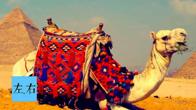 骆驼为何在清末的京城出没?