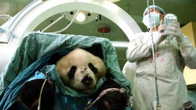 """大熊猫在国外享有""""国宝级""""待遇"""