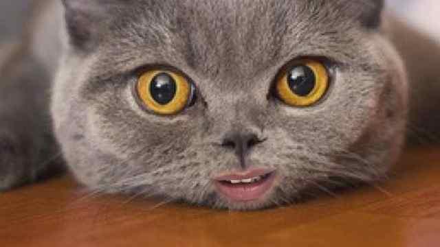 会唱歌的猫咪了解一下