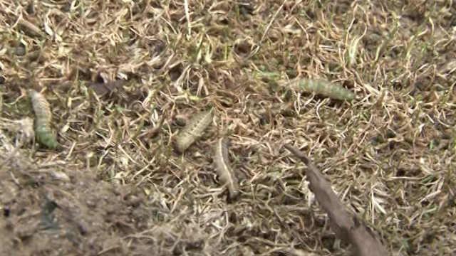 蠕虫成群结队现小区草坪,吓坏业主