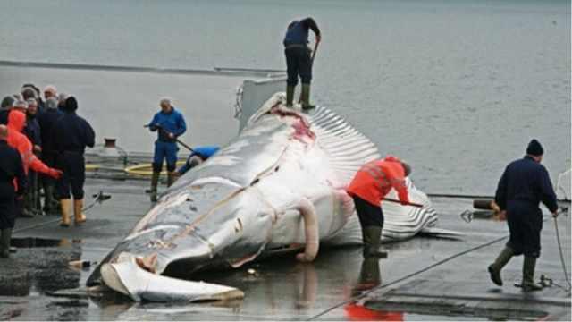 鲸鱼是国际保护动物日本却仍在捕杀