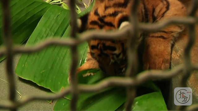 见惯老虎吃肉,还没见过老虎吃草吧
