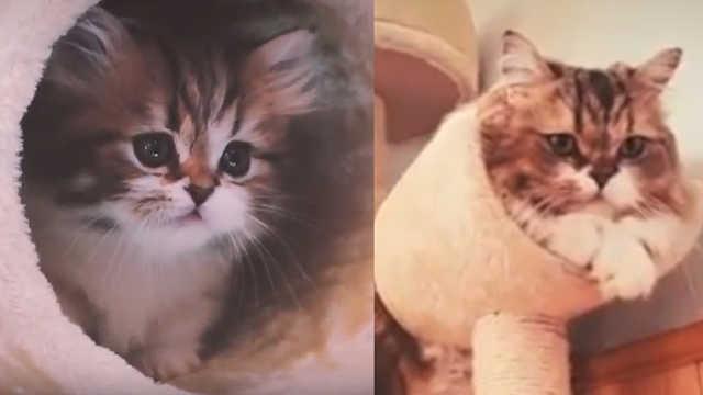 猫咪虽然长大了,依旧爱玩猫爬架