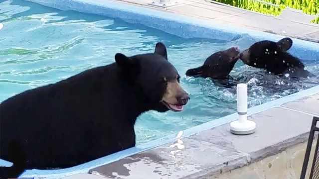 萌翻了:熊妈妈带熊宝宝偷溜进泳池