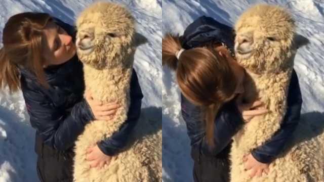 超有爱!羊驼被主人抚摸眯着眼享受