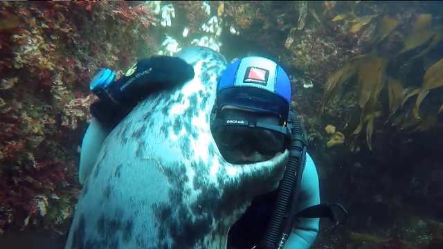 海狮在水下和潜水员撒娇,非要抱抱