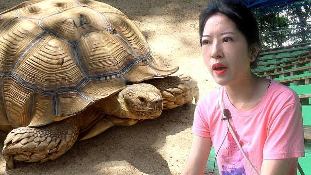 小姐姐近距离接触巨无霸乌龟