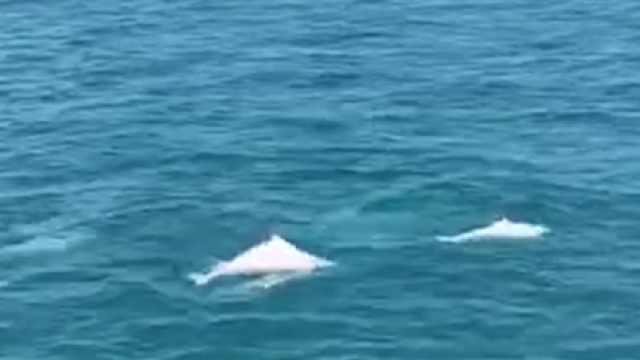 美!中华白海豚再现海南!