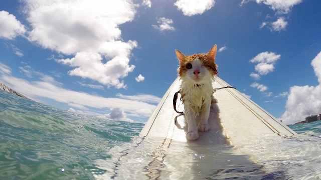 独眼猫咪不惧怕大海,玩起了冲浪