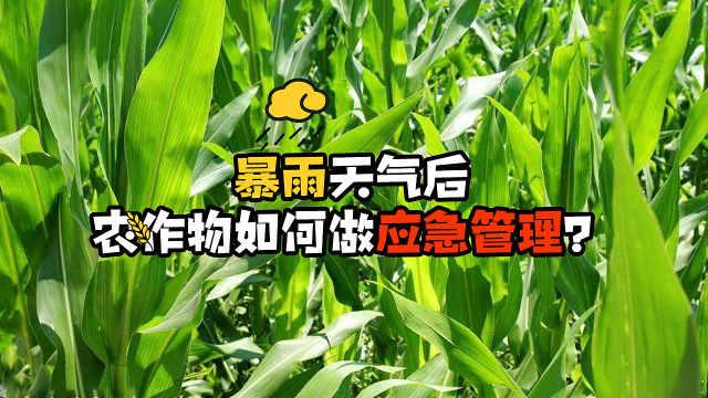 暴雨后,农作物的应急管理怎样做?
