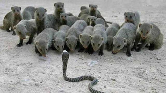当一条眼镜蛇遇到一群蛇獴会发生啥